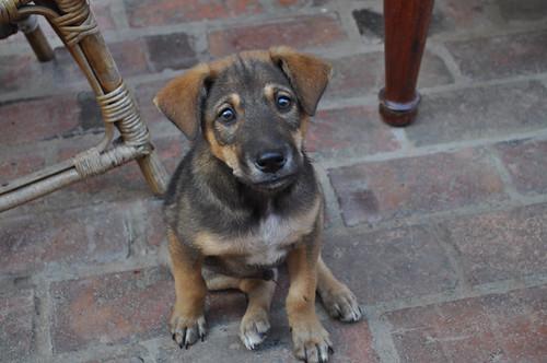 Puppy in Luang prabang