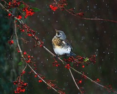 I spy (trickydicky1964) Tags: winter snow bird nature birds wildlife fieldfare sigma150500mmf563dgoshsm