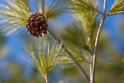 pine cone3