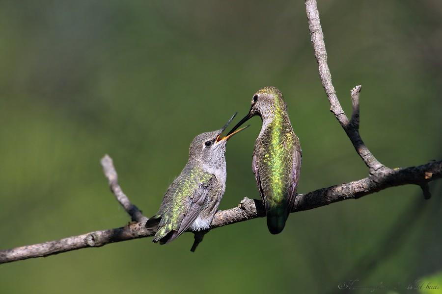 Anna's Hummingbird fledgling 091-13
