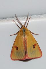 [2059] Clouded Buff- Diacrisia sannio (linanjohn) Tags: france europe insects lepidoptera moths arctiidae arctiinae drome grane 2059 rhonealps diacrisia macromoths diacrisiasannio cloudedbuff nationalmothweek