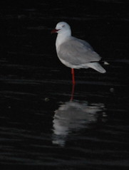 DSC_0116 (tkmckinn) Tags: birds australia july09