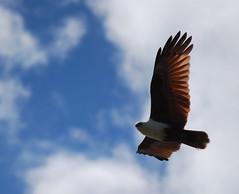 Brahminy Kite (tkmckinn) Tags: birds australia july09