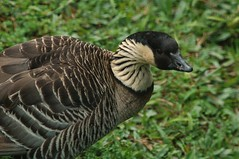 Gossamer Beauty (John 3000) Tags: birds animals hawaii geese aves goose pjaros hawaiian hi animales bigisland hilo ornithology nene zoos panaewarainforestzoo