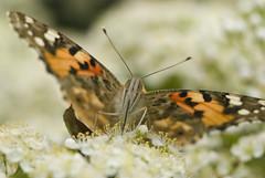 Painted Lady butterfly-3 (Bernard Collen) Tags: butterflies insects paintedlady nikonspeedlightsb800 nikon105mmf28gafsvrmicronikkor