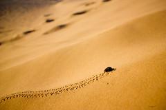 1..2..3... soleil (semaryp) Tags: morning sky silhouette sunrise bug sand eau dubai desert dune uae beetle sable ciel abudhabi shape sharjah forme lever matin dsert scarabe