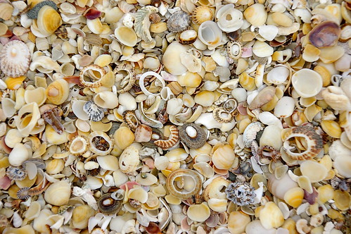 shells from Shelly Beach