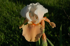 Bearded Iris - Blazing Sunrise (Painted Acres Farm) Tags: iris flower nature bloom beardediris blazingsunrise