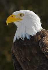 I can see for miles . . . (Michael Andrassi) Tags: canada bird eye nature nikon quebec baldeagle d200 imagepoetry animalkingdomelite avianexcellence pygarguetteblanche michaelandrassi mikeya mmmikey2007