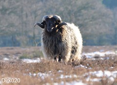 The alpha sheep (wandelgraaf(mostly off)) Tags: sheep bok noordholland huizen gooi tafelberg schaap blaricum