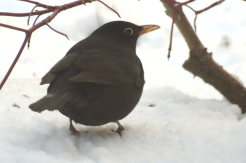 Turdus merula | Merel - Blackbird