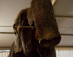 elephant - 6 (walterfrankvoort) Tags: elephant circus cirque parijs alexisgruss circussen januari2010