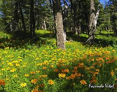 Valle del Challhuaco / Bariloche (Facu551) Tags: naturaleza verde green nature argentina yellow forest neumeyer amarillo bosque sur refugio bariloche rionegro patagoniaargentina amancay sancarlosdebariloche supershot impressedbeauty chalhuaco valledelchallhuaco facundovital httptrekkingbarilocheblogspotcom
