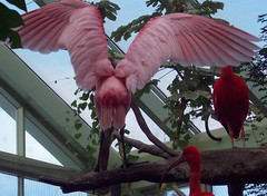 Express yourself! (ak82984) Tags: rainforest buffalozoo roseatespoonbill zoosofnewyork