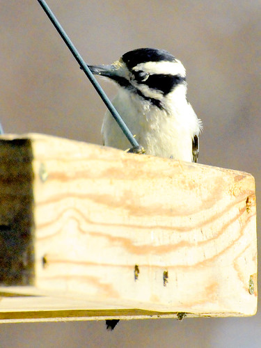 feb downy woodpecker