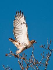 Redtail Takeoff (Jim McConnell) Tags: red bird nikon nebraska hawk tail redtail redtailhawk d90