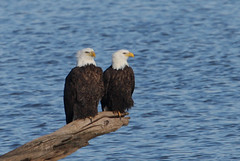 Starved Rock Bald Eagle Pair (Hard-Rain) Tags: bird nature illinois wildlife pair aves predator utica haliaeetusleucocephalus starvedrock baldeagles haliaeetus illinoisriver falconiformes accipitridae explore81 acciptrinae