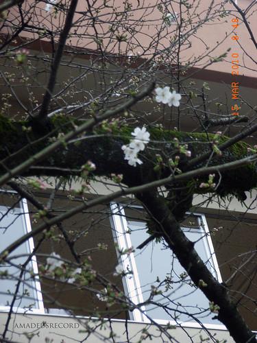 さくらが開花、花冷えも徐々に和らいでいくことでしょう。