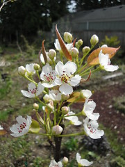Asian Pear Blossoms