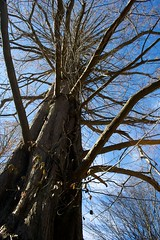 IMG_5902 (alliewilkinson) Tags: park usa newyork tree longisland nassaucounty dawnredwood lattingtown baileyarboretum viaaperture