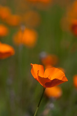 poppies on incline road (RadiHoliday) Tags: flower nationalpark nikon californiapoppy nikkor105mmf28micro photographyworkshop yosemitewinter nikond300 brianrueb stephenoachs