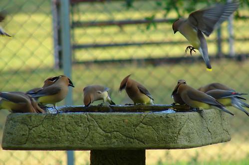 Cedar Waxwings at Birdbath
