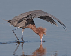 Reddish Egret Canopy Feeding Ding Darling National Wildlife Refuge (kevansunderland) Tags: birds sanibelisland egret reddish floridawildlife birdfeeding wadingbird reddishegret birdphotography dingdarlingnationalwildliferefuge floridabirds avianexcellence dancingegret