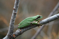 Stripeless Tree Frog (Hyla meridionalis) (David J. Morris) Tags: france tree frog carmargue davidmorris hylameridionalis stripeless