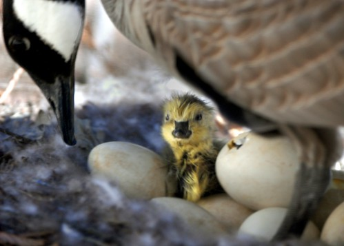 how to hatch a canada goose egg
