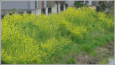 川沿いに咲いている菜の花