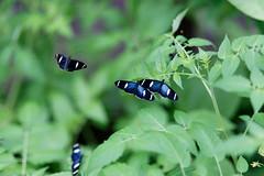 baudchon-baluchon-mindo-papillons-25