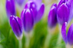 Crocus vernalis (Per Erik Sviland) Tags: flowers flower macro green spring purple bokeh crocus krokus vernalis pererik pereriksviland