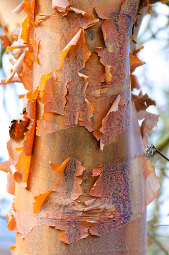 Colour, texture: Chinese red birch bark, Castle Grounds, Bridgnorth