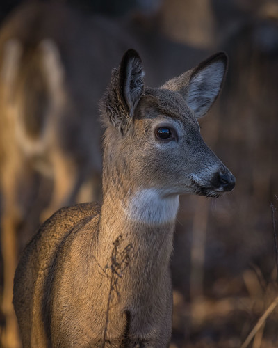 Deer Portrait - 9057