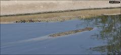 Crocoloco-IZE-234 (Zachi Evenor) Tags: zachievenor israel crocoloco crocolocofarm crocodilefarm crocodiliansfarm crocodile nilecrocodile crocodylusniloticus crocodylus niloticus crocodilia crocodilians haarava riftvalley צחיאבנור ישראל קרוקולוקו חוותקרוקולוקו חוותתנינים חוותתנינאים תניןהיאור תנין היאור תנינים קרוקודיל קרוקודילים תנינאים הערבה 2017 hatzeva 20170221