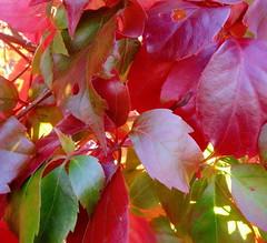 coloriamo la vita (fotomie2009) Tags: autumn canada leaves foglie del autunno vite parthenocissus vergine quinquefolia parthenocissusquinquefolia vitevergine