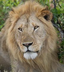 Maasai Lion (naturenev) Tags: africa portrait feline kenya african wildlife lion safari bigcat bigcats carnivore masaimara inthewild flickrbigcats