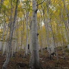 Autumn 2009 (Fabio Cor - PARMA) Tags: autumn tree alberi landscapes nikon photographer mm nikkor 35 autunno 2009 paesaggio fotografo appennino faggio delle corti parmense monchio d700 fabiocor