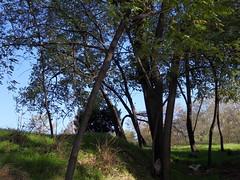 verdi ancora per poco (fotomie2009) Tags: autumn trees tree alberi autunno robinia pseudoacacia
