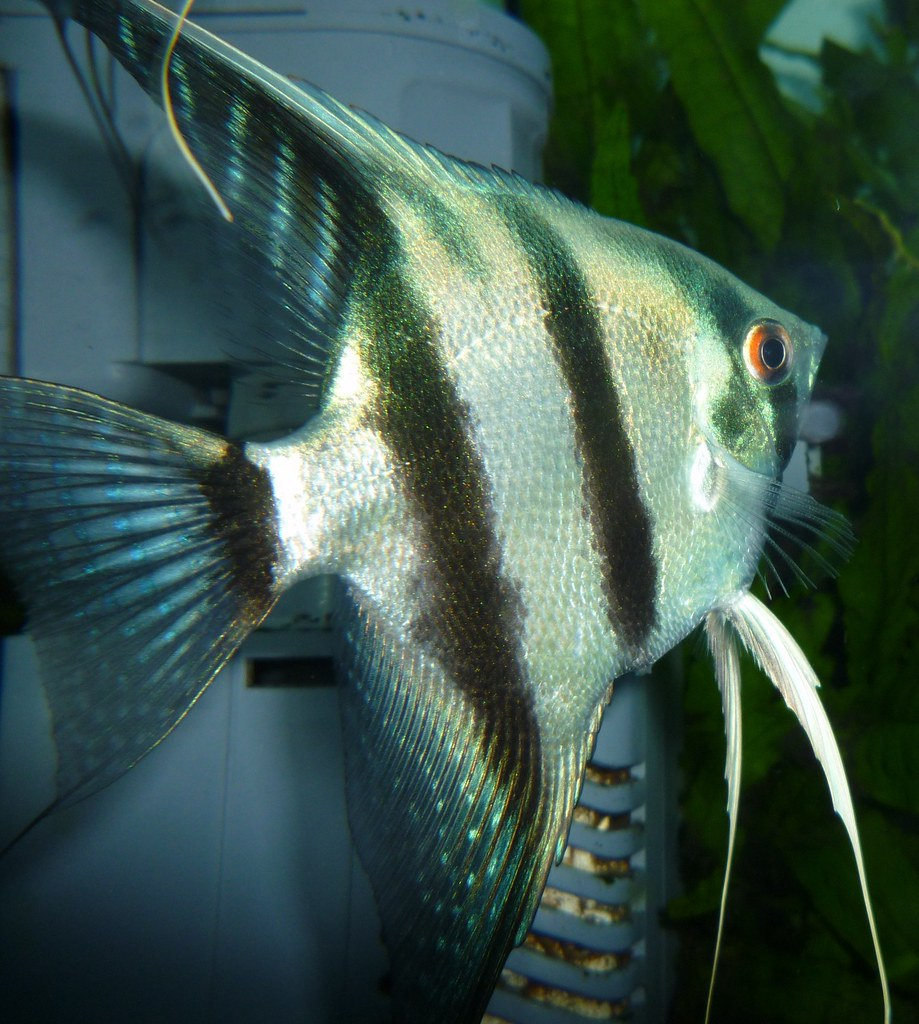 how to know male and female angelfish