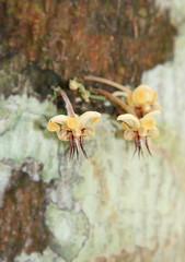 Theobroma cacao, flowers