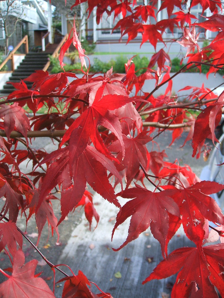 Light through Bloodgood maple