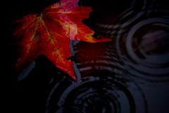 hush... (just call me Mr Lucky) Tags: leaves rain drops ripples natureycrap november212009