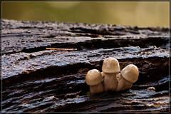 Porcelain Mushroom (Oudemansiella mucida) (BraCom (Bram)) Tags: autumn macro fall nature mushroom forest woods herfst natuur fungi stump paddenstoel bos stronk porseleinzwam oudemansiellamucida porcelainmushroom bracom bramvanbroekhoven