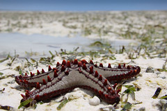 Starfish at Zanzibar Beach (mikel.hendriks) Tags: seascape beach strand landscape geotagged tanzania walks starfish zanzibar colourful landschap wandeling zeezicht zeester abigfave canoneos50d vosplusbellesphotos