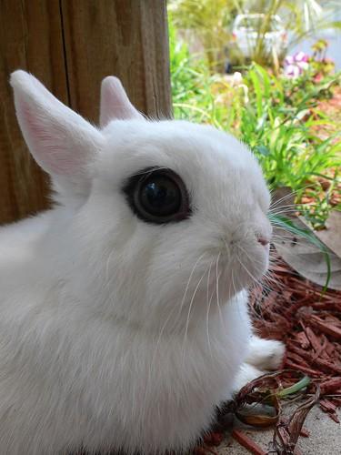 hotot rabbit photo