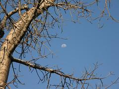 moon over the big baobab tree (yuyu418) Tags: sunset moon white flower tree water sunrise river waterfall rainbow victoria zimbabwe victoriafalls baobab zambezi 263 zambeziriver