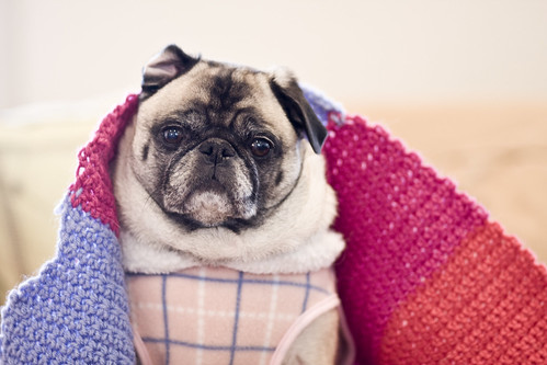 puglet trying to stay warm!
