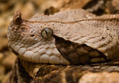 9/365 - Gaboon Viper (btrain16) Tags: macro animals washingtondc dc washington sigma olympus nationalzoo e300 snakes reptiles herps 2010 rdc reptilehouse 1850mm gaboonviper reptilediscoverycenter