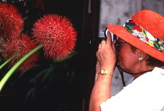 Visitor photographing a blood lily (Scadoxus multiflorus) at the Fairchild Tropical Garden in Miami, Florida (State Library and Archives of Florida) Tags: flower florida miami botanicalgardens attractions amaryllidaceae scadoxus fairchildtropicalgarden scadoxusmultiflorus statelibraryandarchivesofflorida